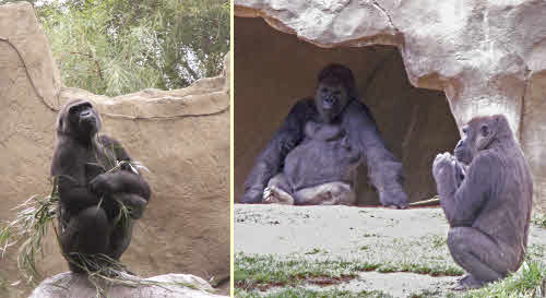 gorillas showoff and silverback
