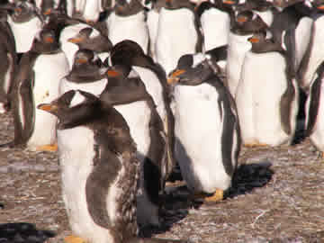 Gentoo penguins on Bluff Cove