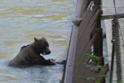 Brown Bear in Lutak Inlet