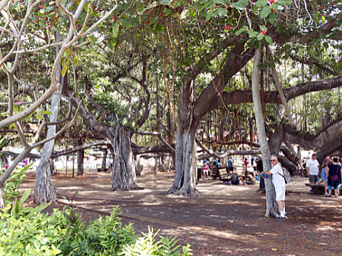 Steve in Banyon trees in Lahaina
